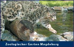 Tiger im Zoo Magdeburg, ©MMKT