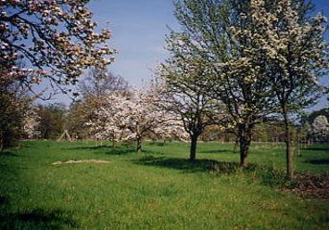 Apfel- und Birnebnbäume im blühenden Zustand im Naturschutzgebiet Kreuzhorst
