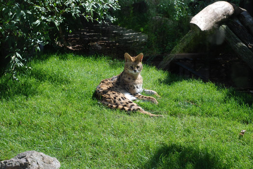 Serval im Zoo (c) Magdeburg Marketing