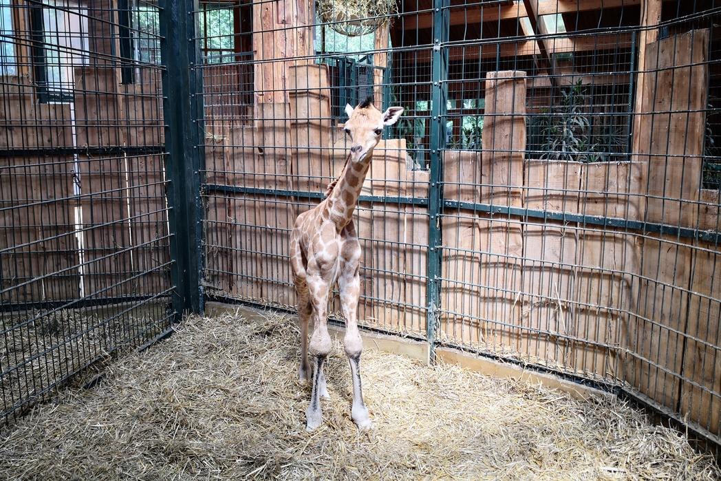 Giraffenjungtier im Zoo @ Magdeburg Marketing