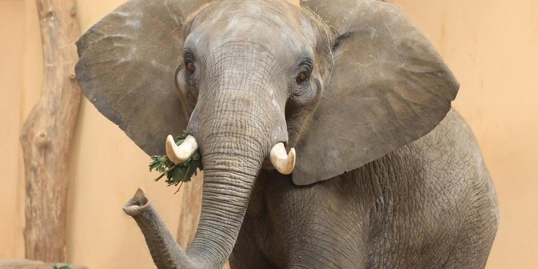 1. Elefant im Zoo  © Magdeburg Marketing