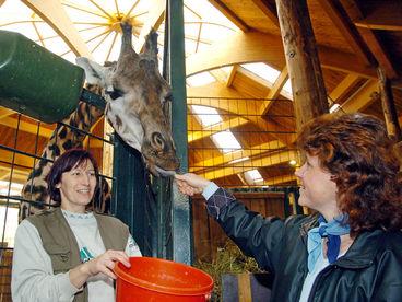 Tierpflege live bei den Giraffen © Zoo Magdeburg